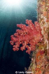 Soft coral under the pearl farm jetty, Raja Ampat by Larry Polster 